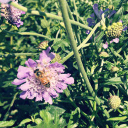 honeybee pollenation springtime