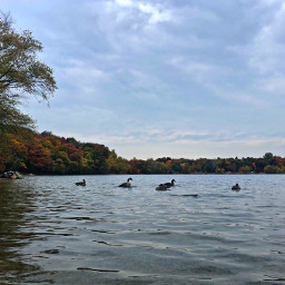 pond geese ripples nature seasons freetoedit