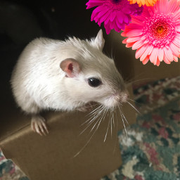 freetoedit flowers gerbil cute rip