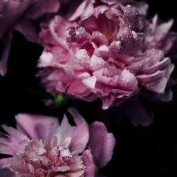 peonies flowers fotoedit freetoedit