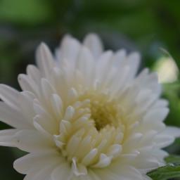 chrysanthemum white flower pcwhite