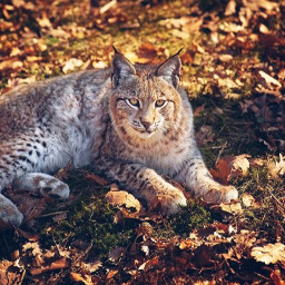 lynx foret automne