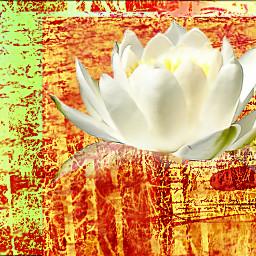 freetoedit lotus purity