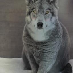 freetoedit hybrid calf cat wolf  thank