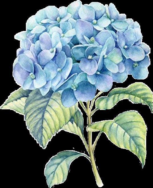 #hydrangea #hydrangeas #flower #flowers #blueflower #blueflowers
