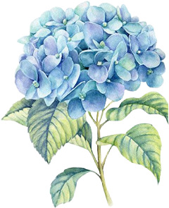 hydrangea hydrangeas flower flowers blueflower freetoedit