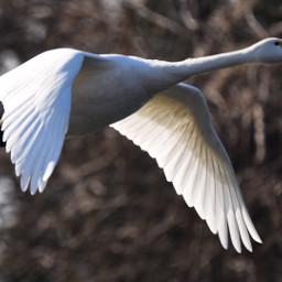 swan wintertime birdsphotography nikon japan