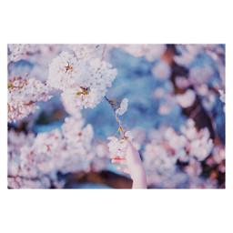 cherryblossoms spring