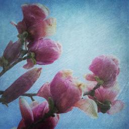 freetoedit magnolia