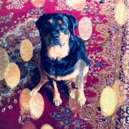 dogs rottweiler animalover doglover dogsday