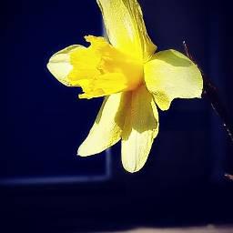 freetoedit flowers yellowflower narcissus