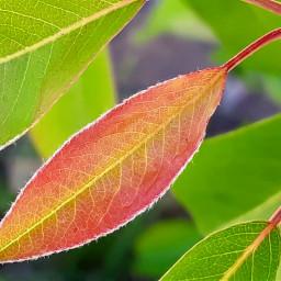 peartree leaf bud freetoedit pcintonature