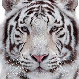 freetoedit tiger tigre white blanco