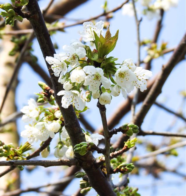 #freetoedit #myphoto #tree #flowers #spring #naturephotography @piroskab