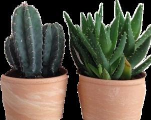 scaloevera aloevera aloe plant aloeveraaesthetic freetoedit