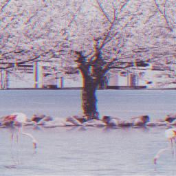 freetoedit pink cherryblossoms sakura trees