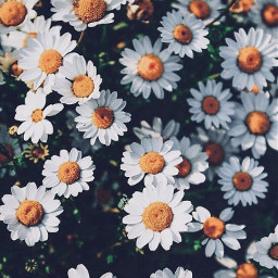 freetoedit daisy aesthetic aestheticallypleasing