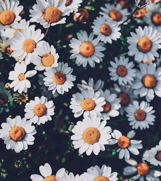#freetoedit #daisy #aesthetic #aestheticallypleasing