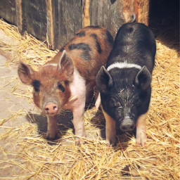 freetoedit piggies pigs farmanimals bestbuds