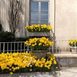 freetoedit florals daffodils window shadows