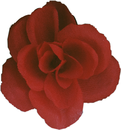 freetoedit rose sticker red may