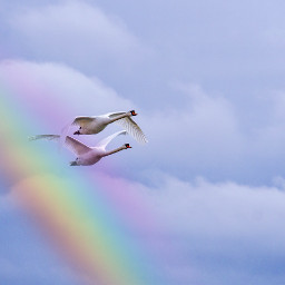 ircflyingswans flyingswans freetoedit rainbow birds