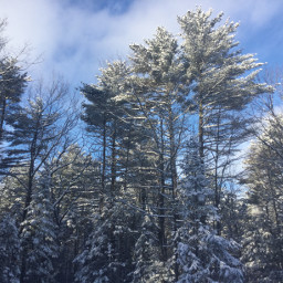 pcforest forest snow treed bluesky