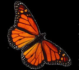 butterfly orange cute nature tumblr freetoedit