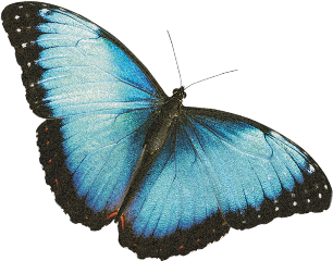 bluebutterfly butterfly cute blue vintage freetoedit