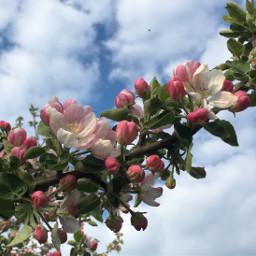 photo nature flowers tree spring freetoedit