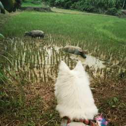 farmlife japanesespitz summer visittofarm dog