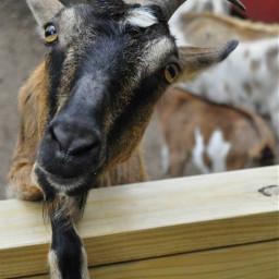 cutie animallover goat cuteeyes iwanthim freetoedit