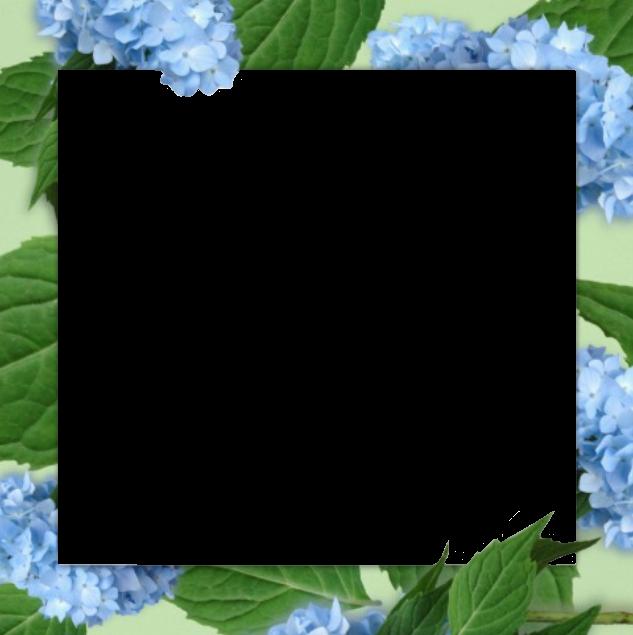 #frame #overlay #hydrangea #hydrangeas #blue