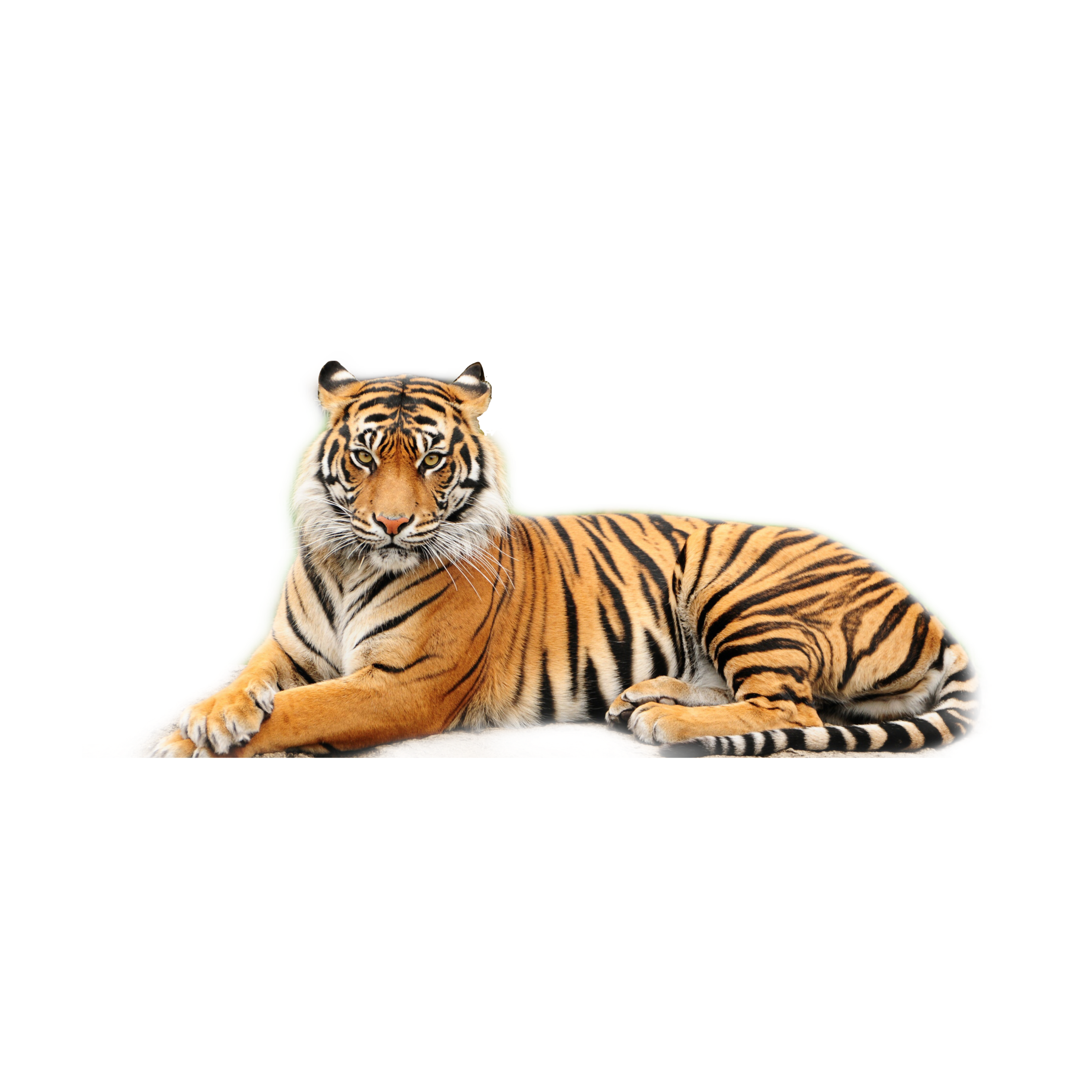 картинка тигр без фона серебра