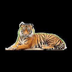 tiger wildlife wild jungle king freetoedit