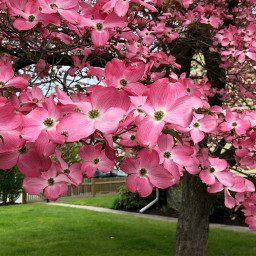 blossoms pink nature tree freetoedit