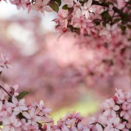 freetoedit nature blossom pink