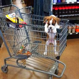 kuma boxer puppy dog brindle pcshoppingcart