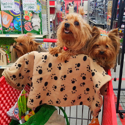 puppies puppy yorkie shopping trio pcshoppingcart