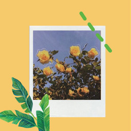 freetoedit aesthetic yellow green polaroid sunflower tumblr glitch plant leaf
