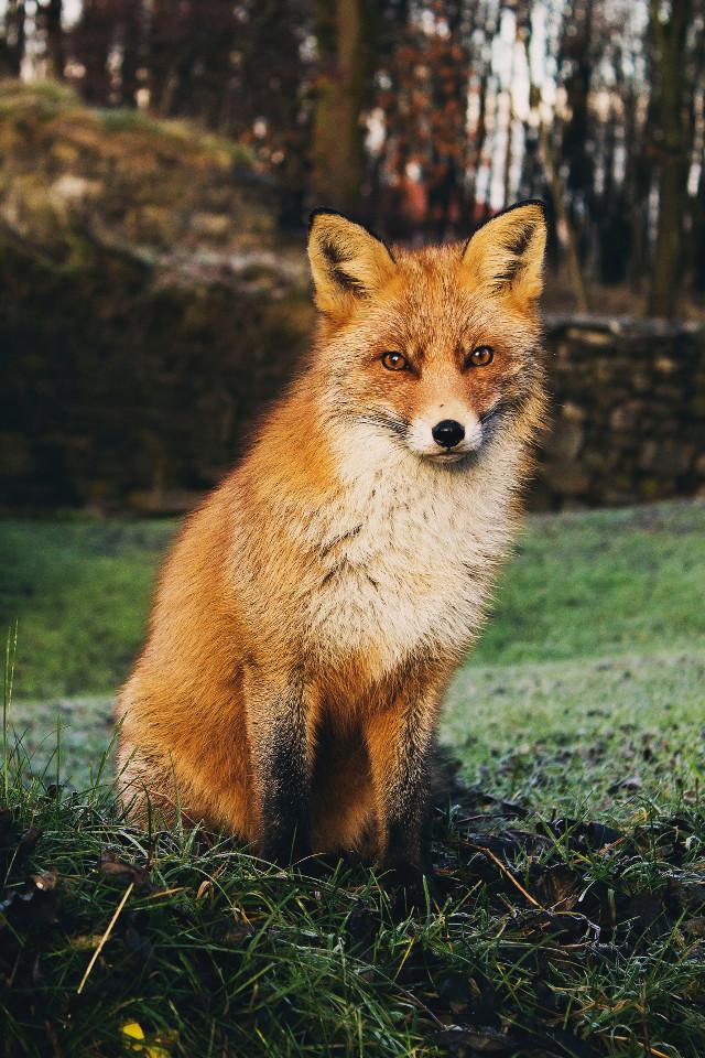 Let you imagination take over. Unsplash (Public Domain) #fox #foxes #wildlife #animal #animals #freetoedit