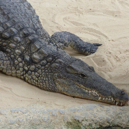 freetoedit photography myphoto crocodile pczoo