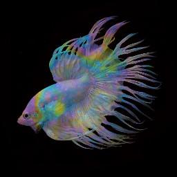 freetoedit freetoeditbutgivemecredit siamesefightingfish fish bettasplendens