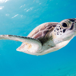 turtle ocean animal animals freetoedit