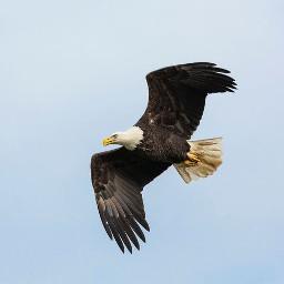 eagle baldeagle wildlife freetoedit