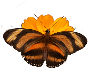 butterfly flower orange yellow freetoedit