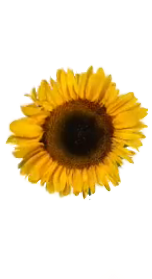 sunflower sunflowers sunflowersgalore sunflowerremix sunflowersticker freetoedit
