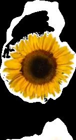 #sunflower #sunflowers #sunflowersgalore #sunflowerremix #sunflowersticker #sunflowerfield #sunflowergirl #sunflowercollection #yellow #yellowaesthetic #yellowaesthetics #aesthetic #art #artsy #nature  #naturephotography #naturesbeauty #naturelover #naturebeauty #flower #freetoedit