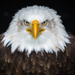 eagle wildlife freetoedit