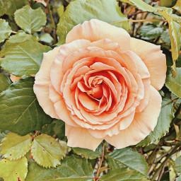 freetoedit rose roses flower flowers